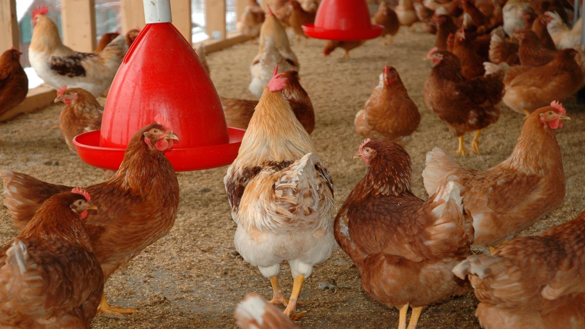 Quiero tener mi propio gallinero