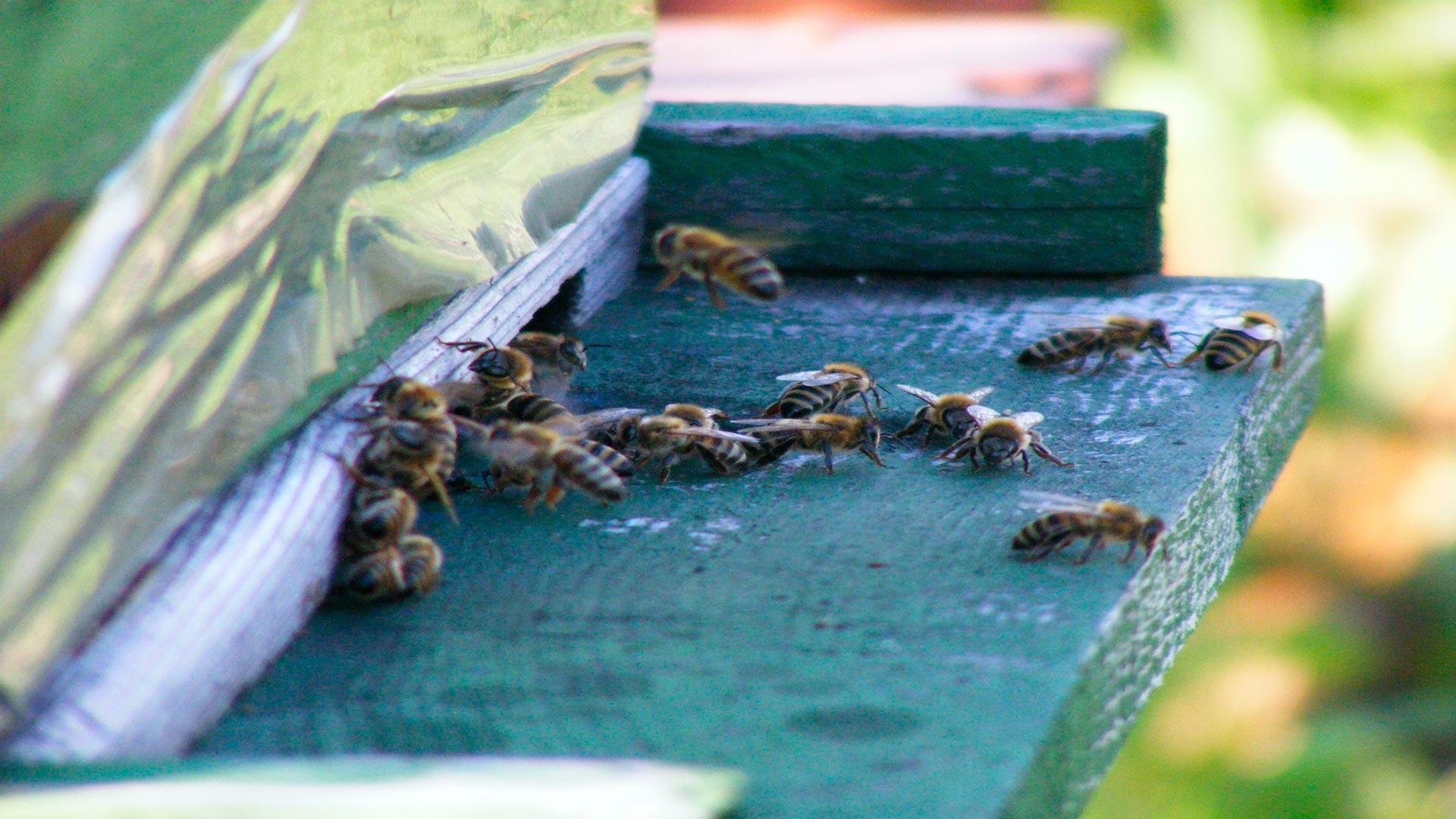 Cómo proteger las colmenas de la Vespa Velutina