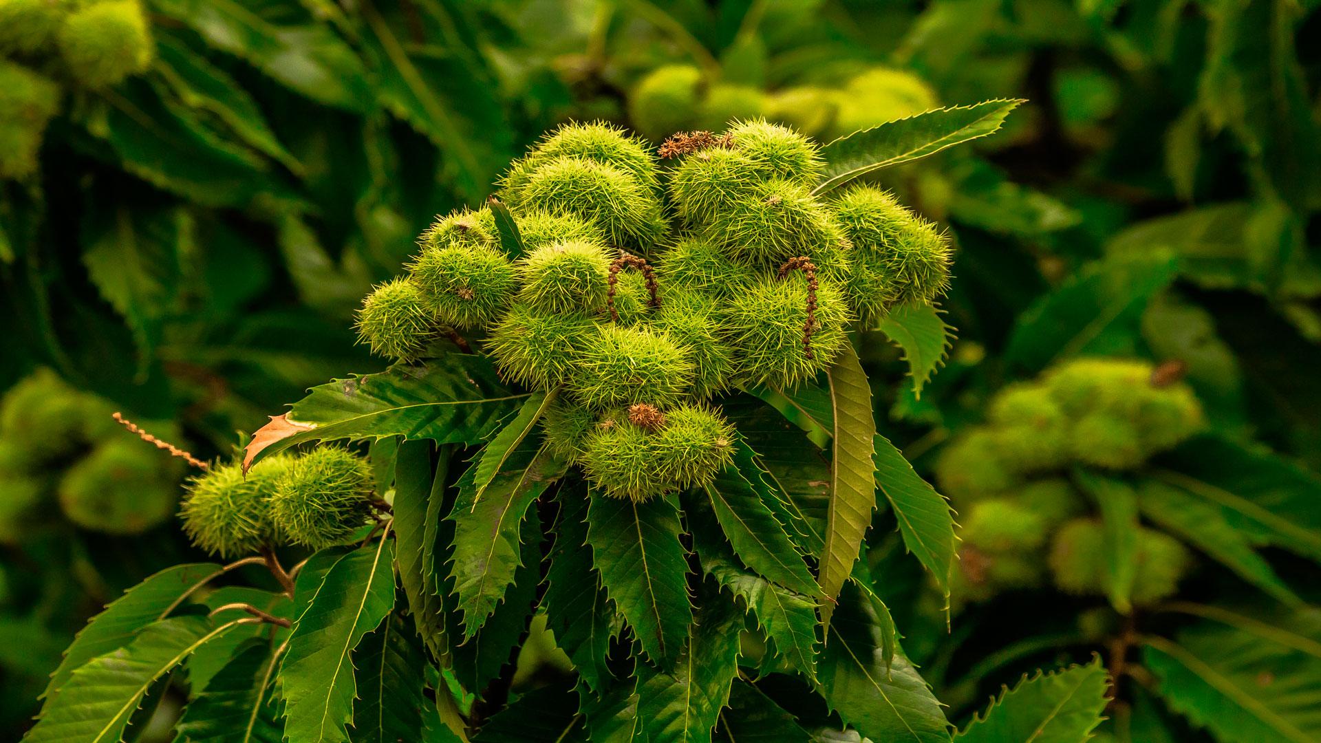 Abierta la convocatoria de ayudas para plantaciones de castaños de fruto