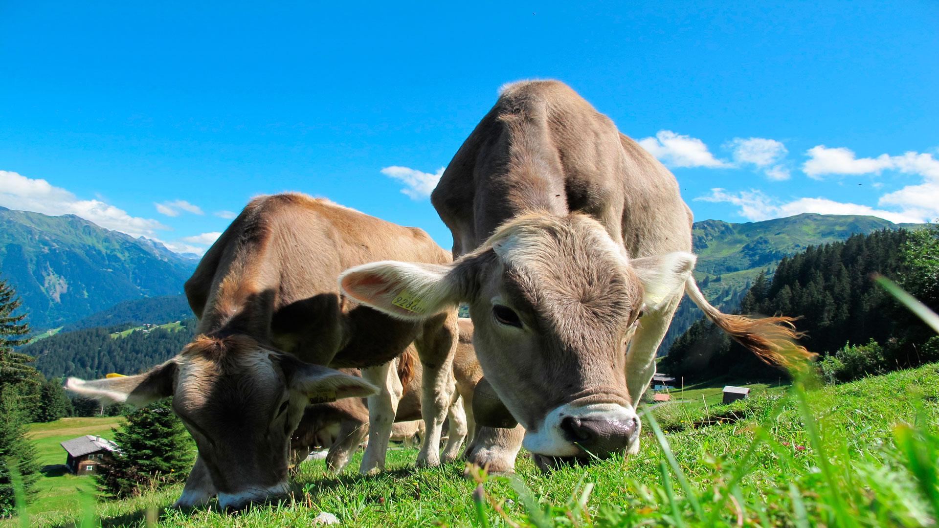 Lo mejor y más barato para las vacas La hierba