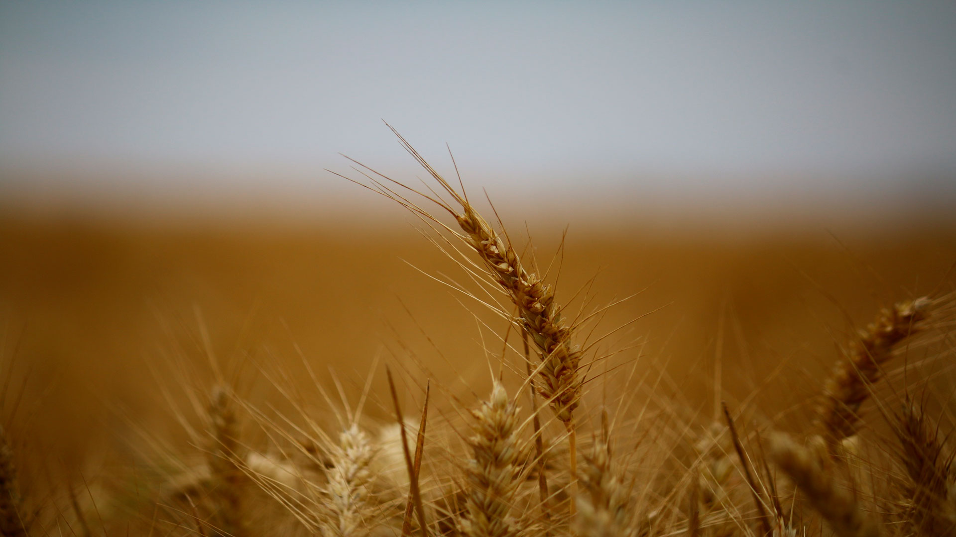 En máximos históricos la cosecha mundial de cereales