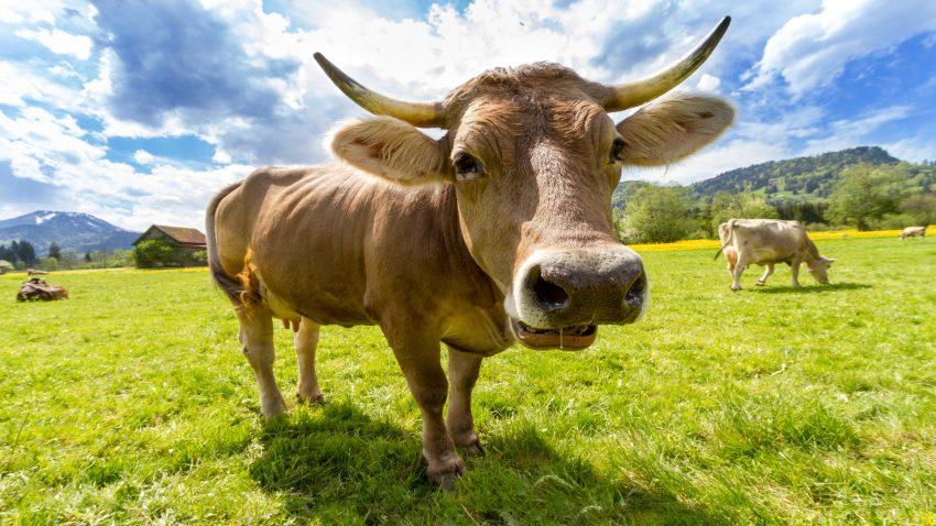 Los científicos recurren a la ingeniería genética para reducir las ventosidades y flatulencias de las vacas1920