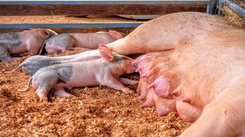 Para conservar el Porco Celta es que sea rentable criarlo1920