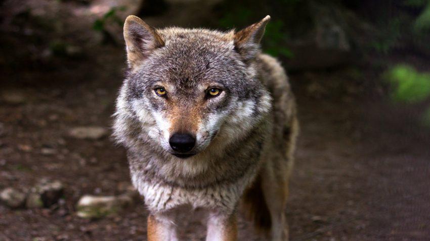Ayudas para prevenir los daños provocados por el lobo y el jabalí1920