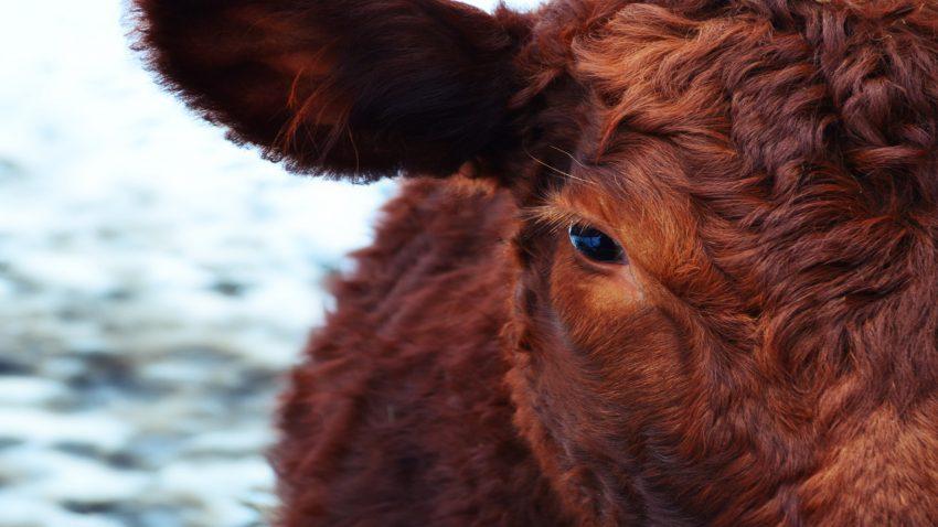 Las vacas no son tan tontas como parecen1920