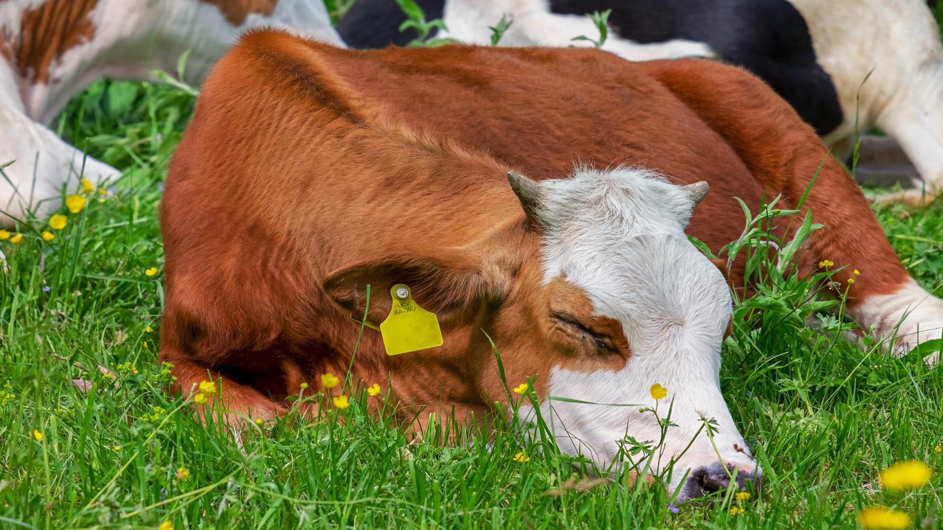Bayer subvencionara a los ganaderos de vacuno que innoven en bienestar animal1920