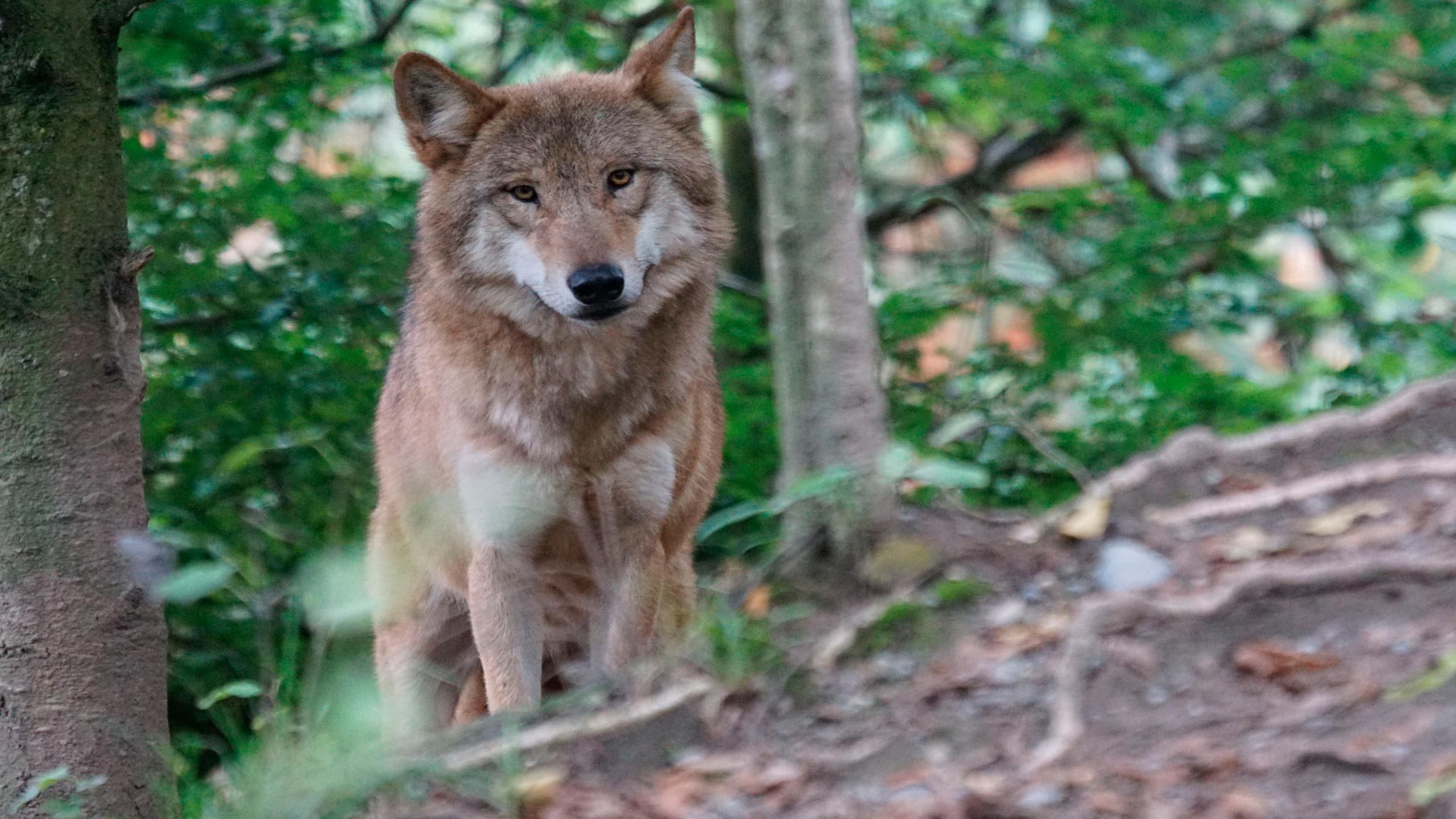 Para el 2016 Medio Ambiente triplicara las ayudas para danños causados por los lobos