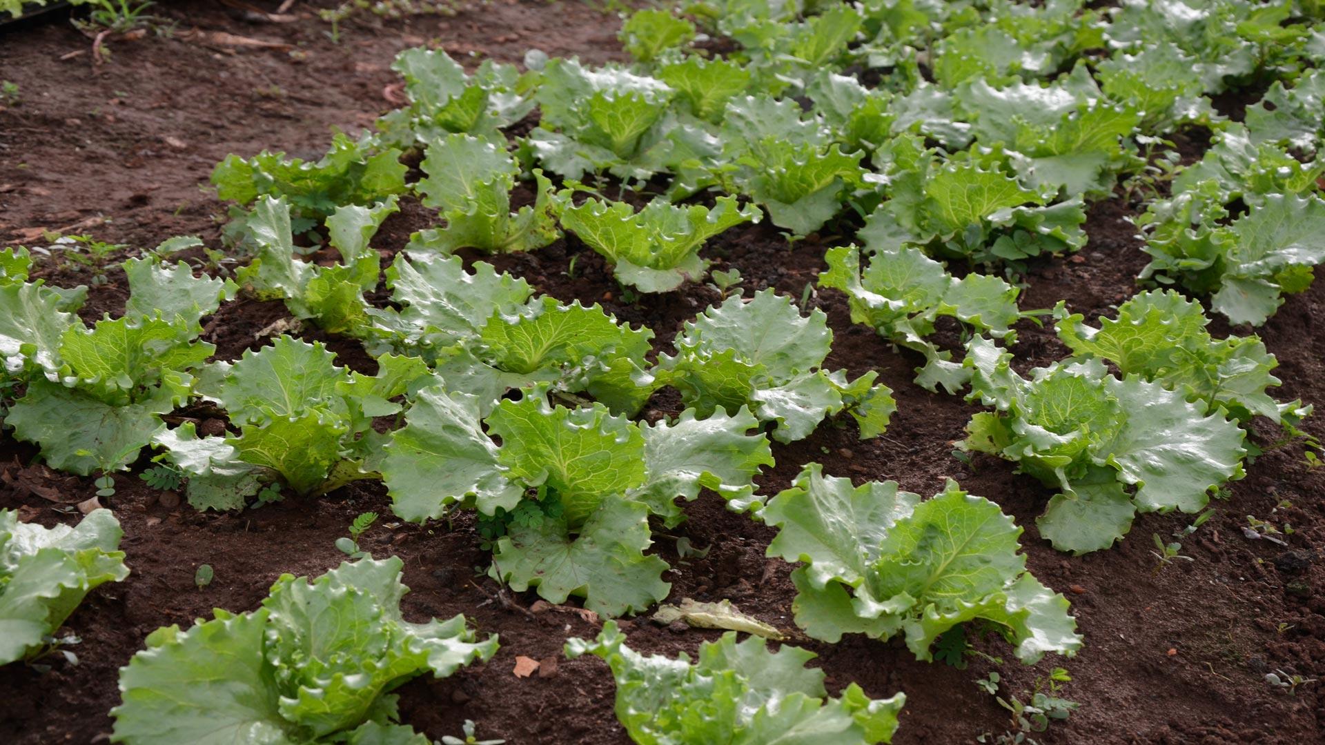 Lechuga cultivo para novatos
