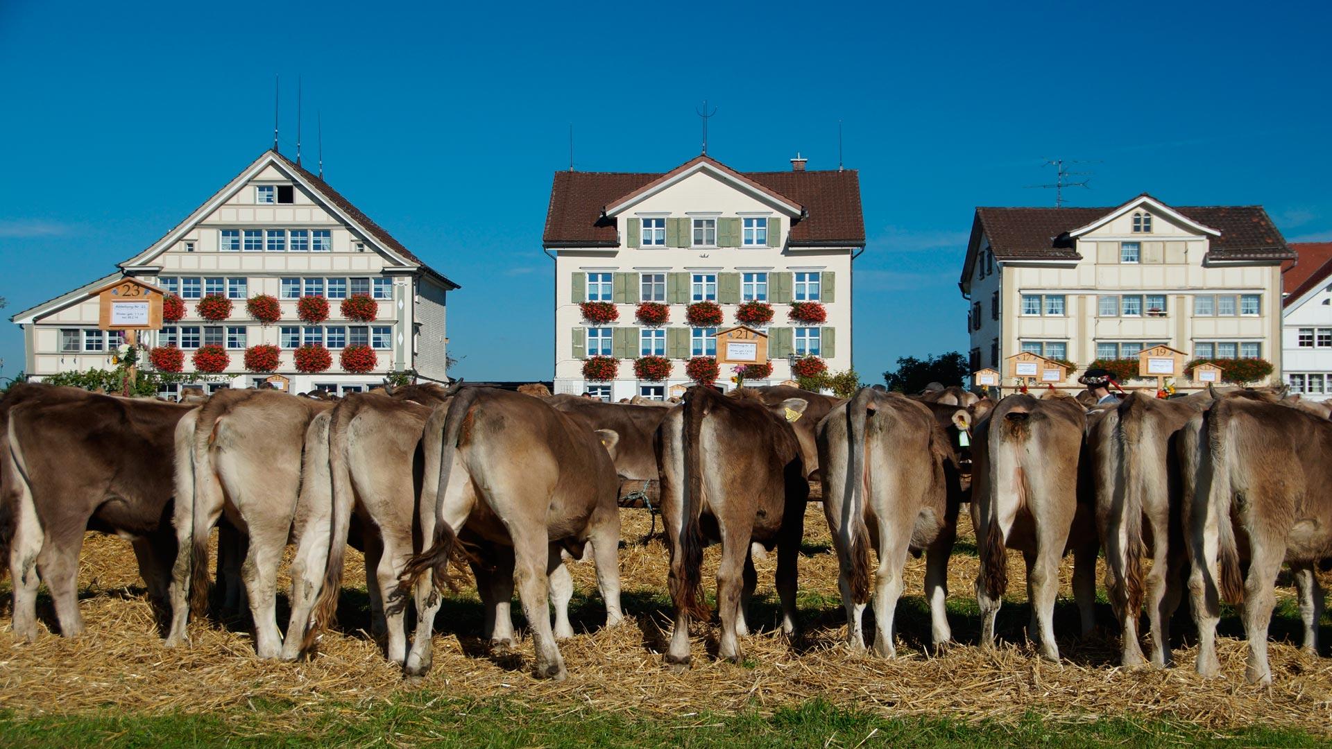 Las ventosidades de 90 vacas hacen explotar el establo