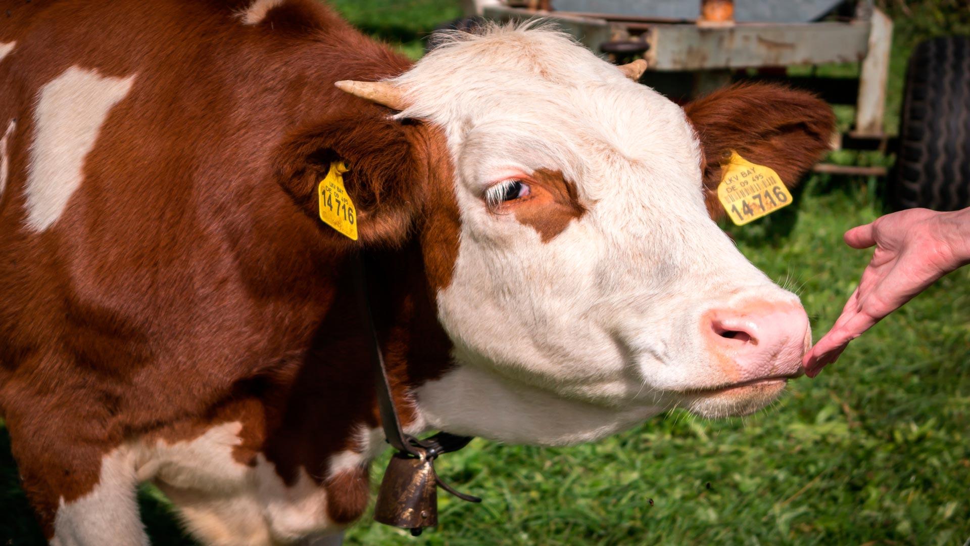 Seguridad a la hora de manejar el ganado