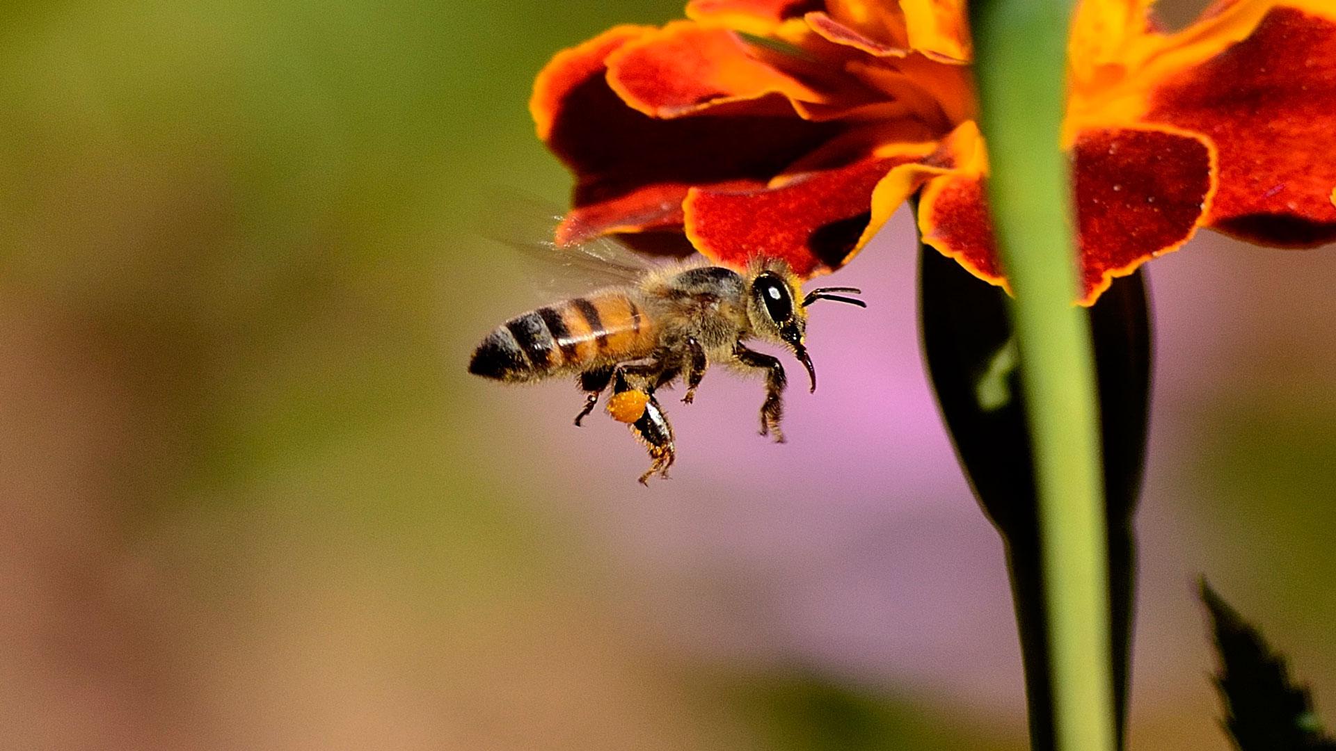 30 pesticidas diferentes en el polen de las abejas
