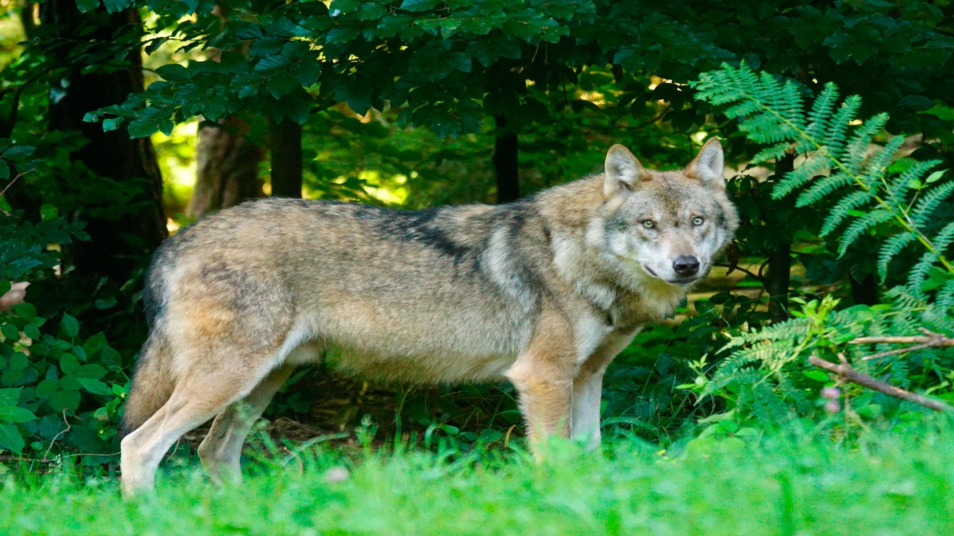 Subvenciones para evitar los daños causados lobos, jabalís y osos