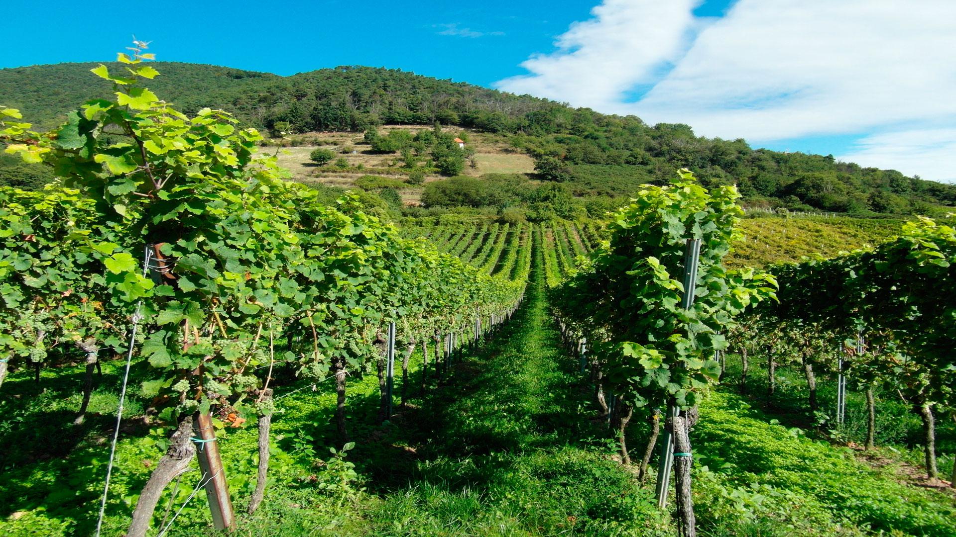 la guardia civil impedira que en galicia entren uvas en la vendimia