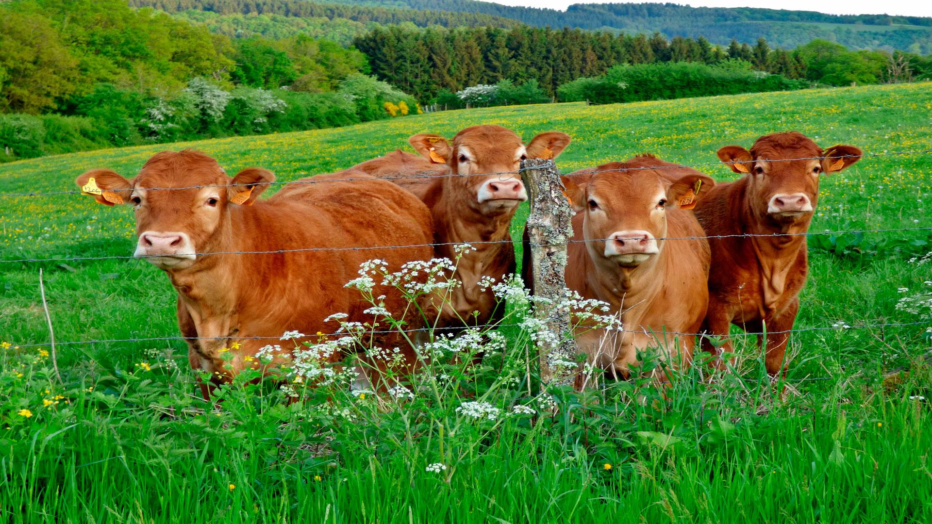 claves para mejorar la genetica de una ganaderia