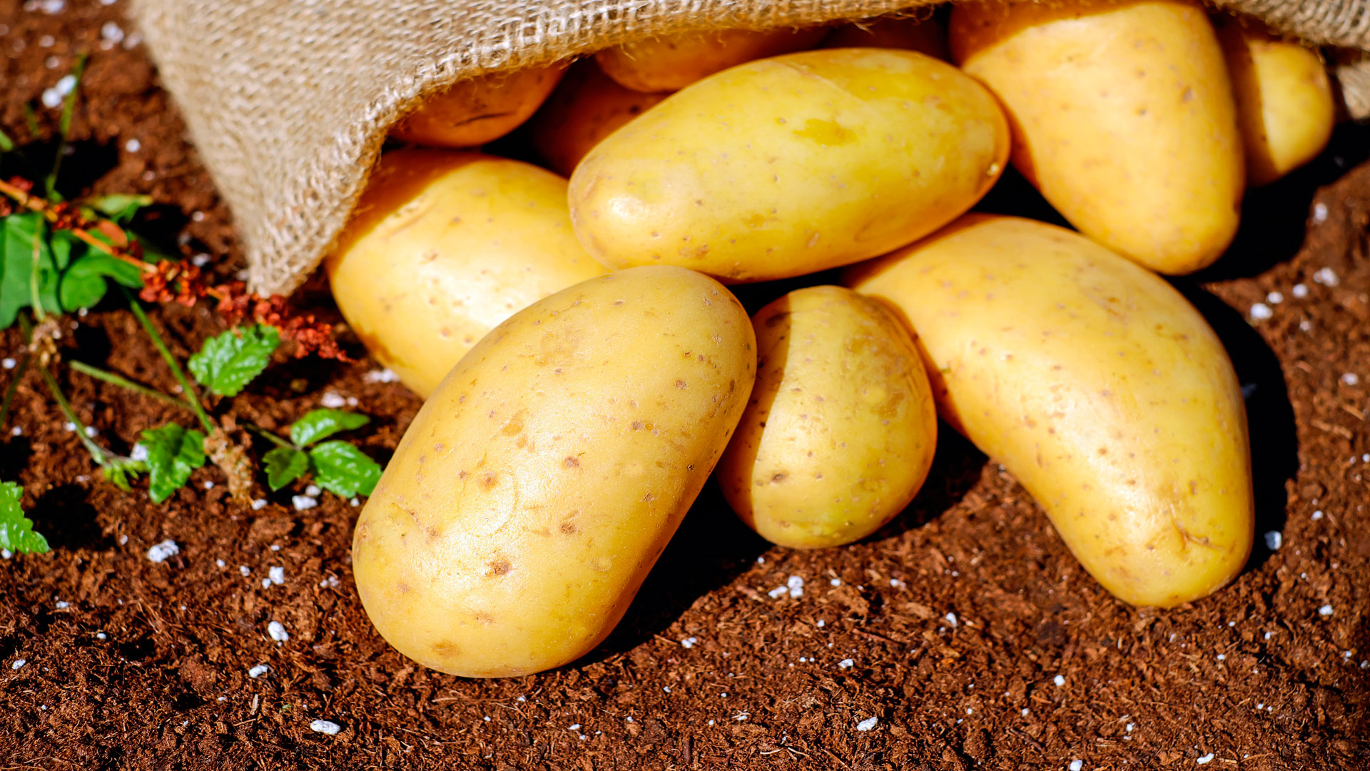 Una patata gallega a la conquista del mercado español