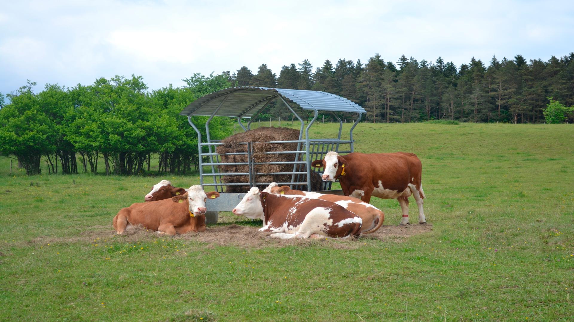 Un ahorro de 0,5 euros en la ración de una vaca si el ensilado es bueno