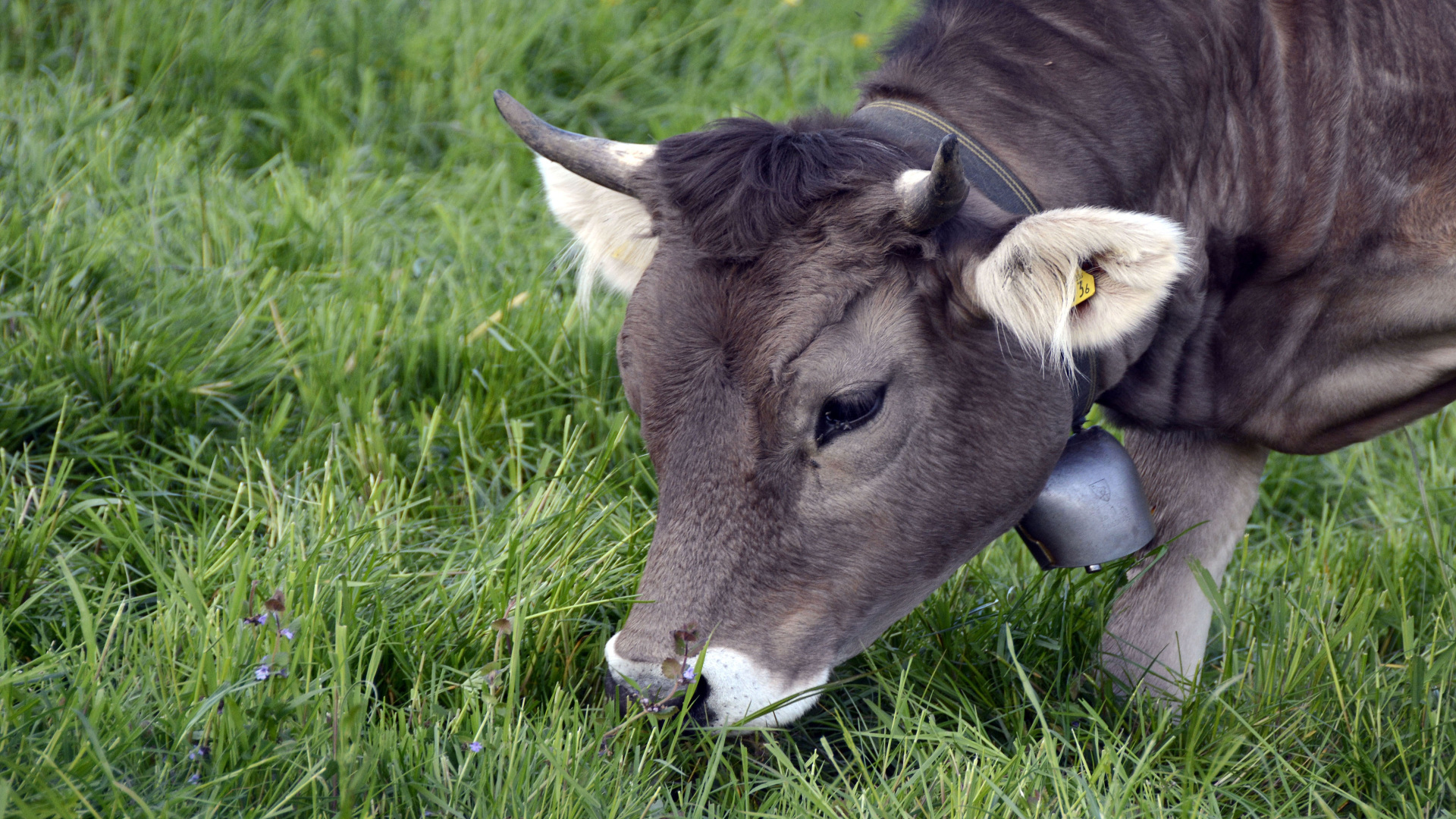 Los ganaderos gallegos podrán vender directamente carne y leche al consumidor