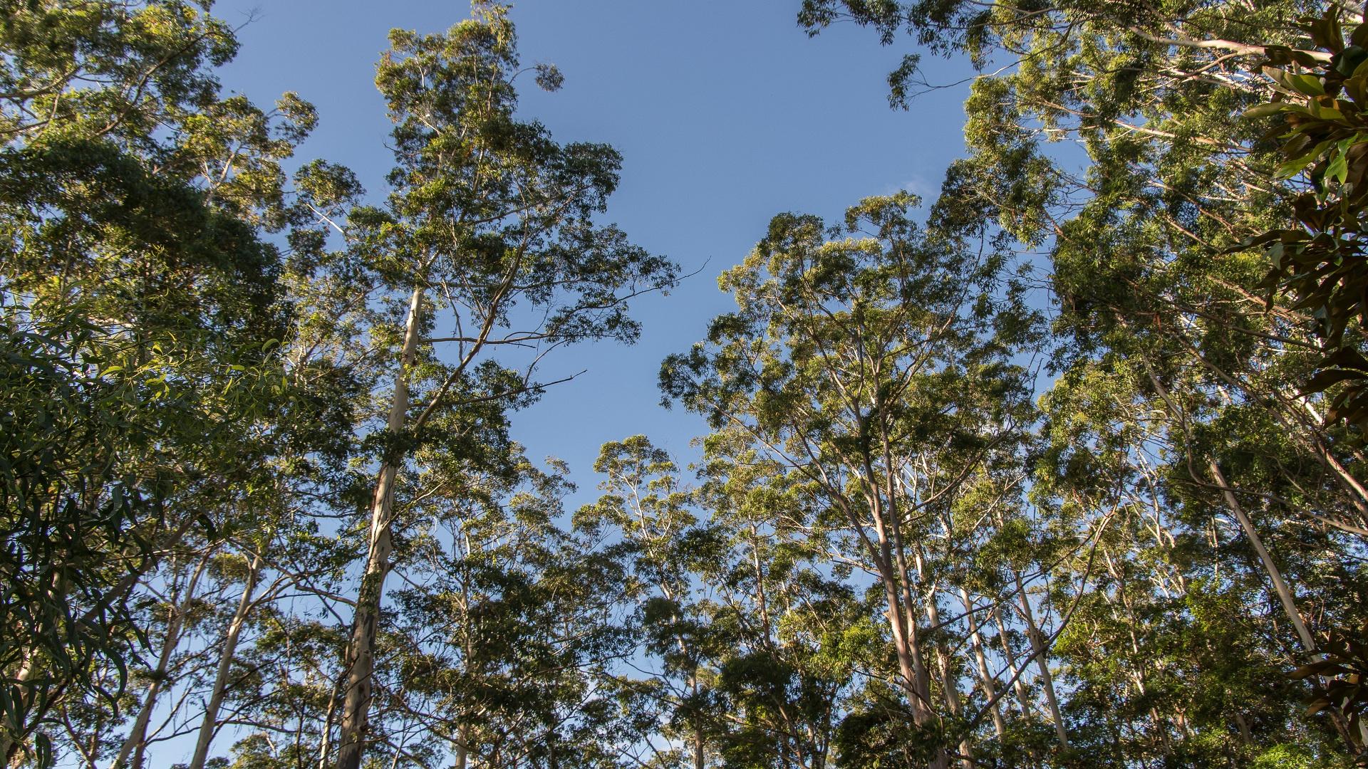 A vueltas con el eucalipto nitens