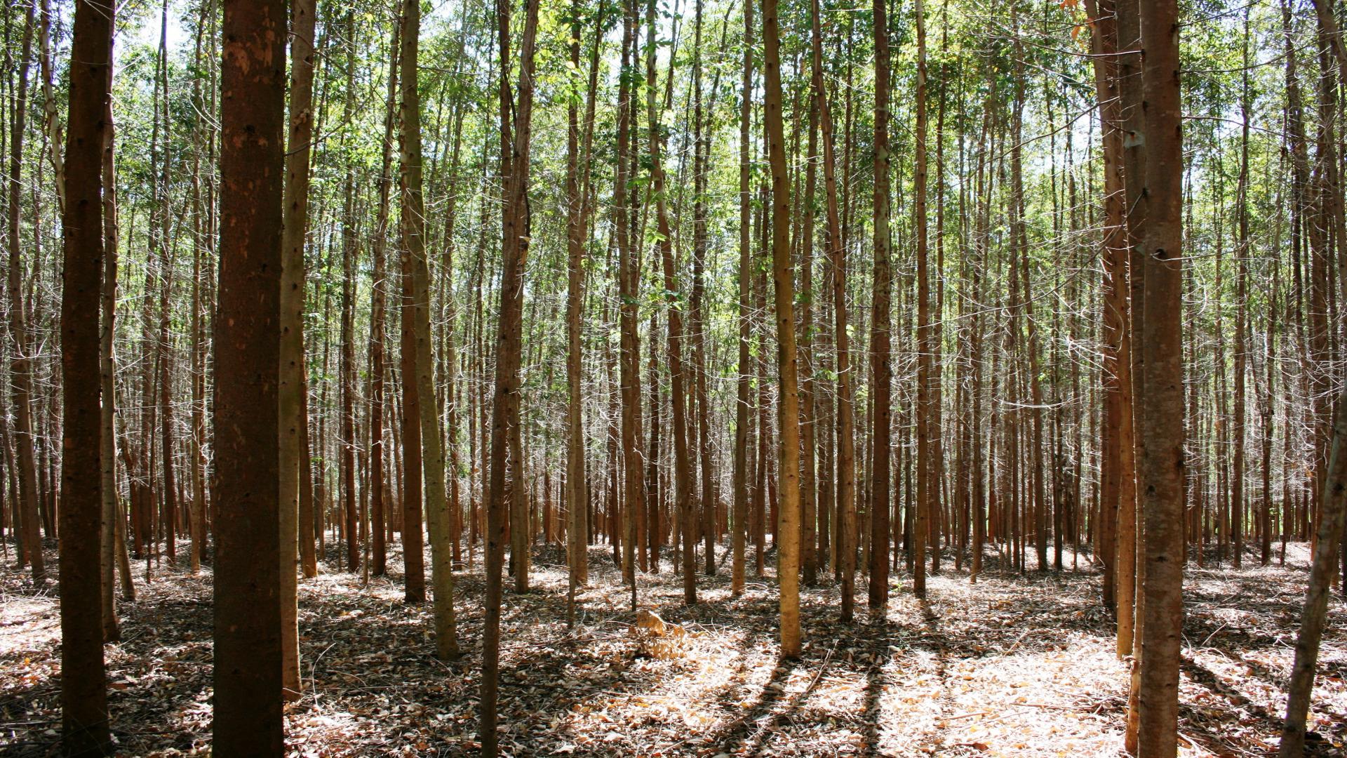 La primera cubierta reticular del mundo hecha con eucalipto se construye en Lugo