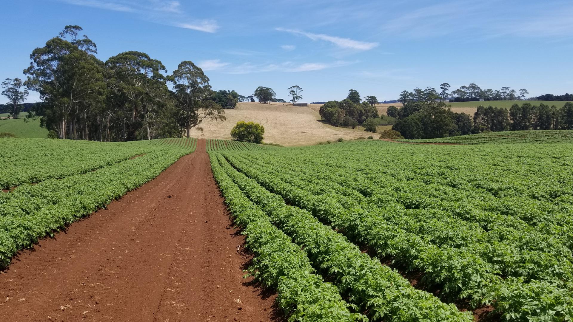Se cumple un años desde la prohibicion de cultivar patatas.1920
