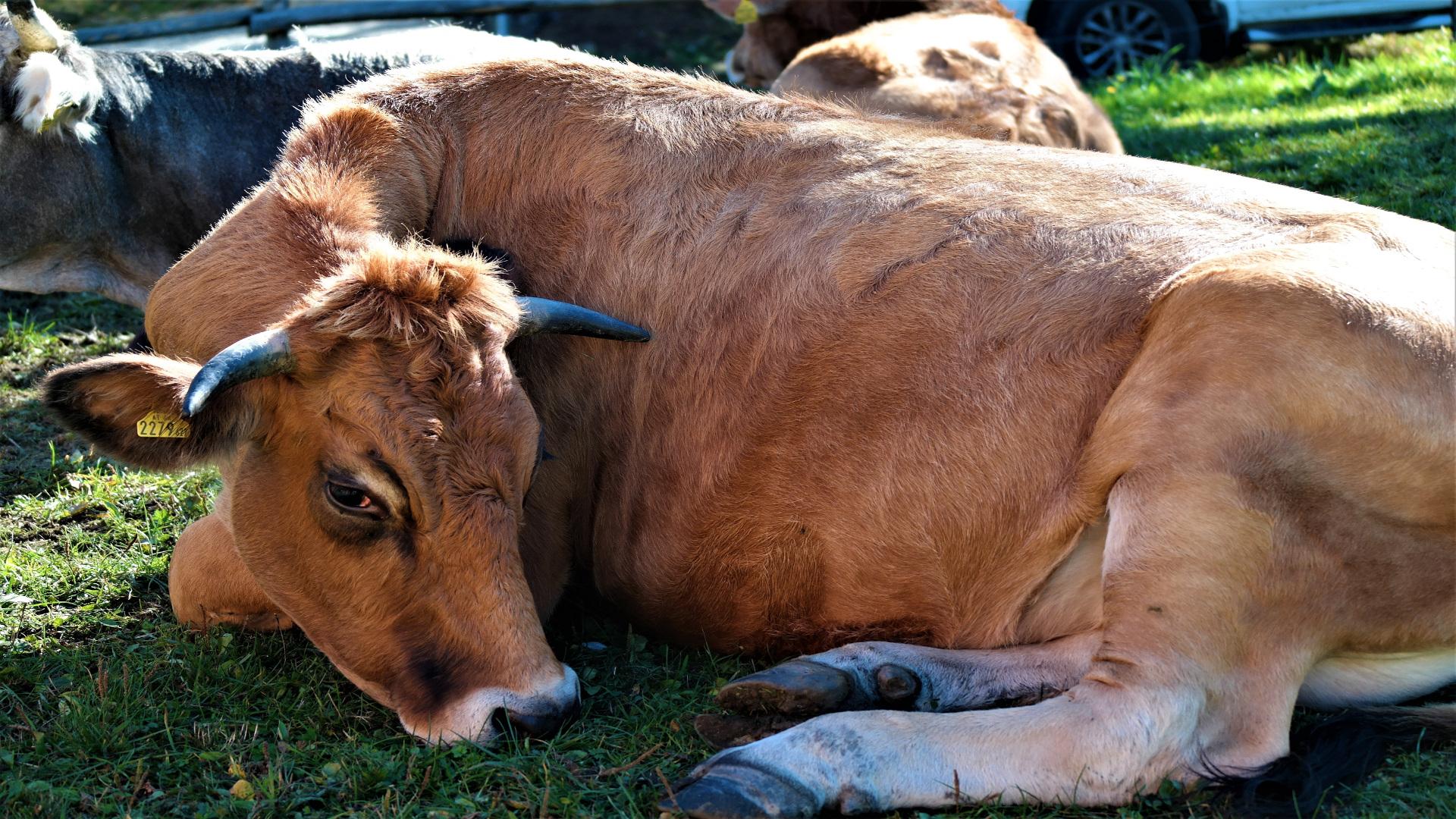 las vacas preñadas.1920