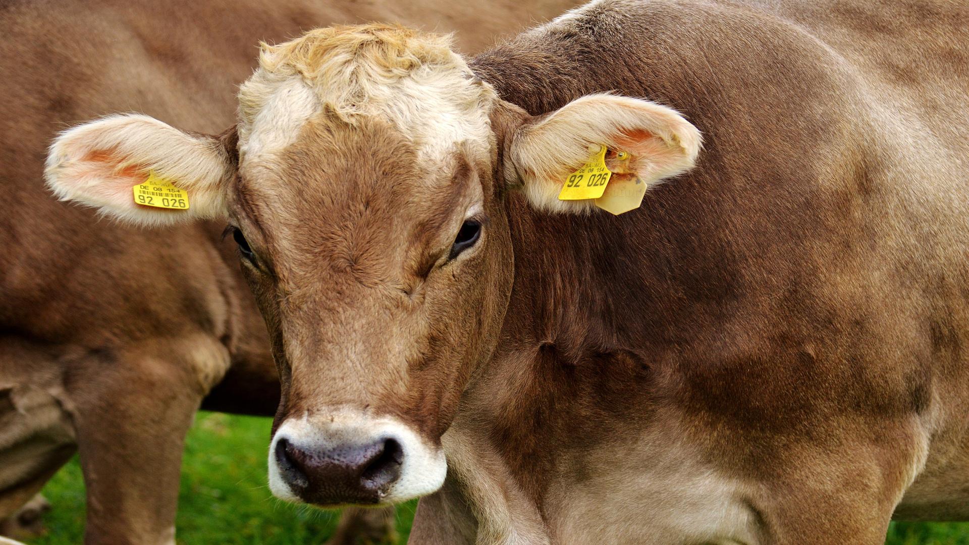 Desmanteladas dos organizaciones que alteraban los crotales del ganado vacuno1920