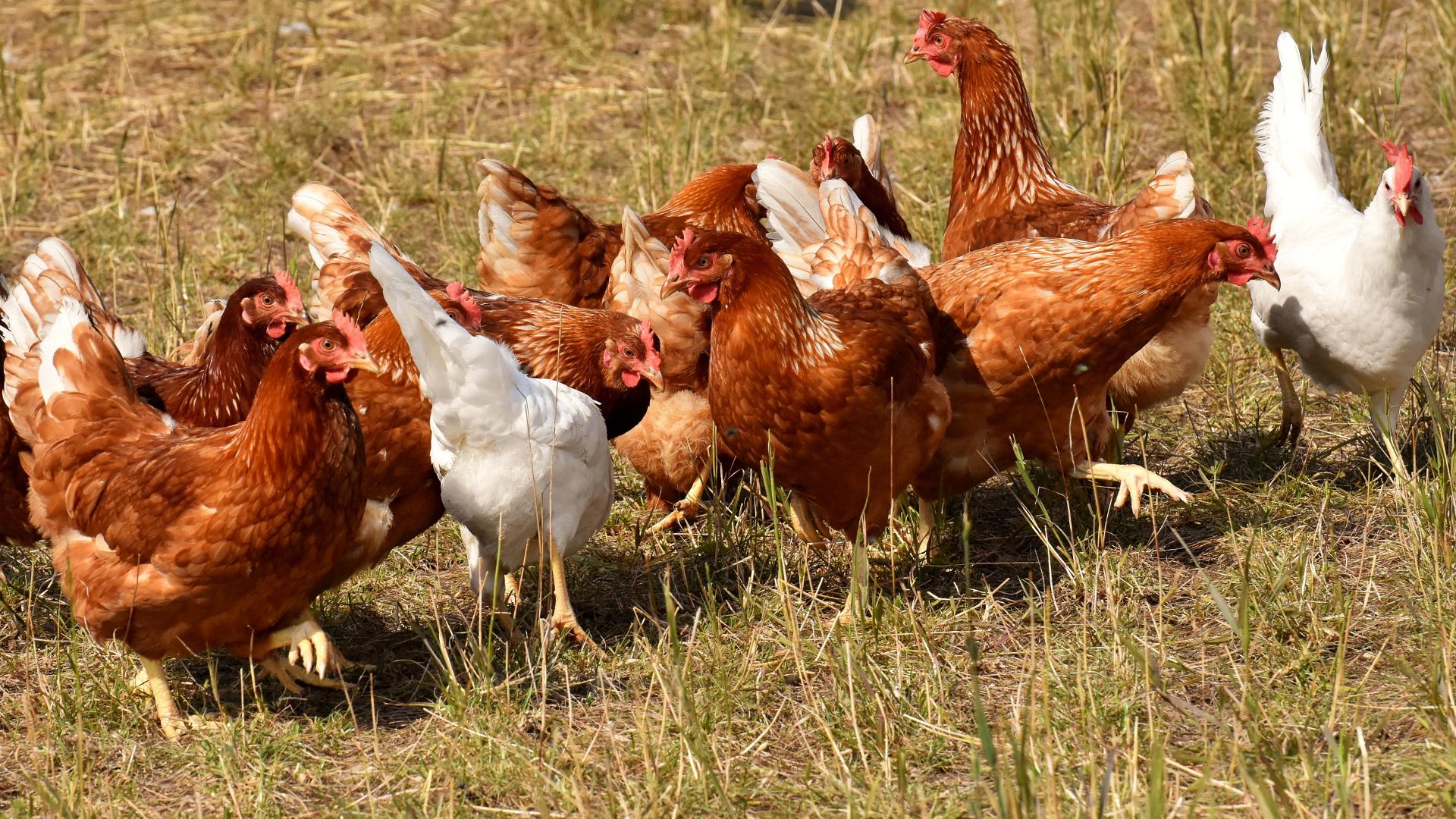 Por meterse donde no lo llamaban Un grupo de gallinas mata a picotazos a un zorro que se colo en su corral 1920