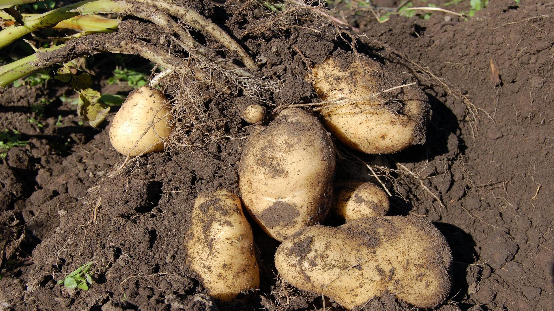 Hasta el 16 de Noviembre se puede solicitar la ayuda para los afectados por la polilla de la patata1920