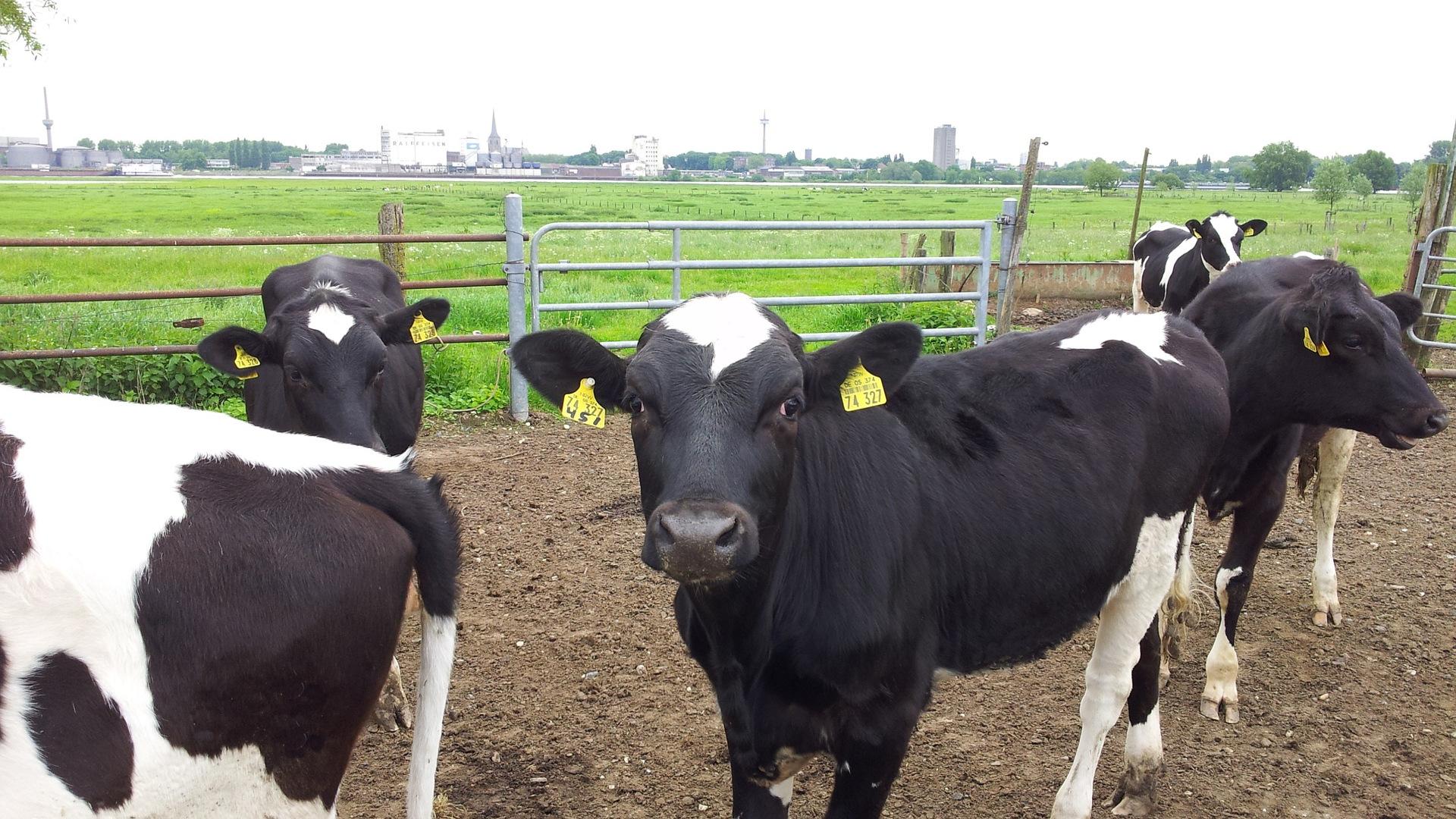 Consejos para un manejo seguro del ganado1920