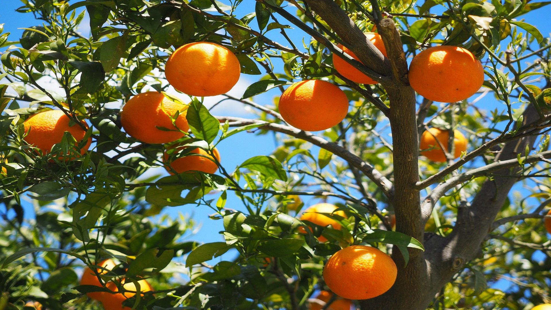 Gracias a un nuevo metodo ya se puede diferenciar las naranjas ecologicas de las convencionales.1920