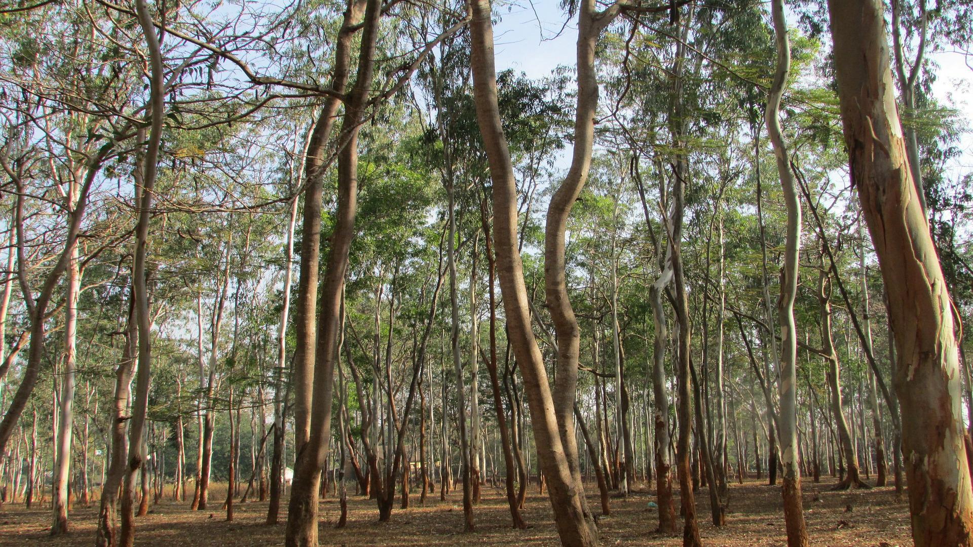 Galicia es una de las mejores areas para eucalipto y pino1920