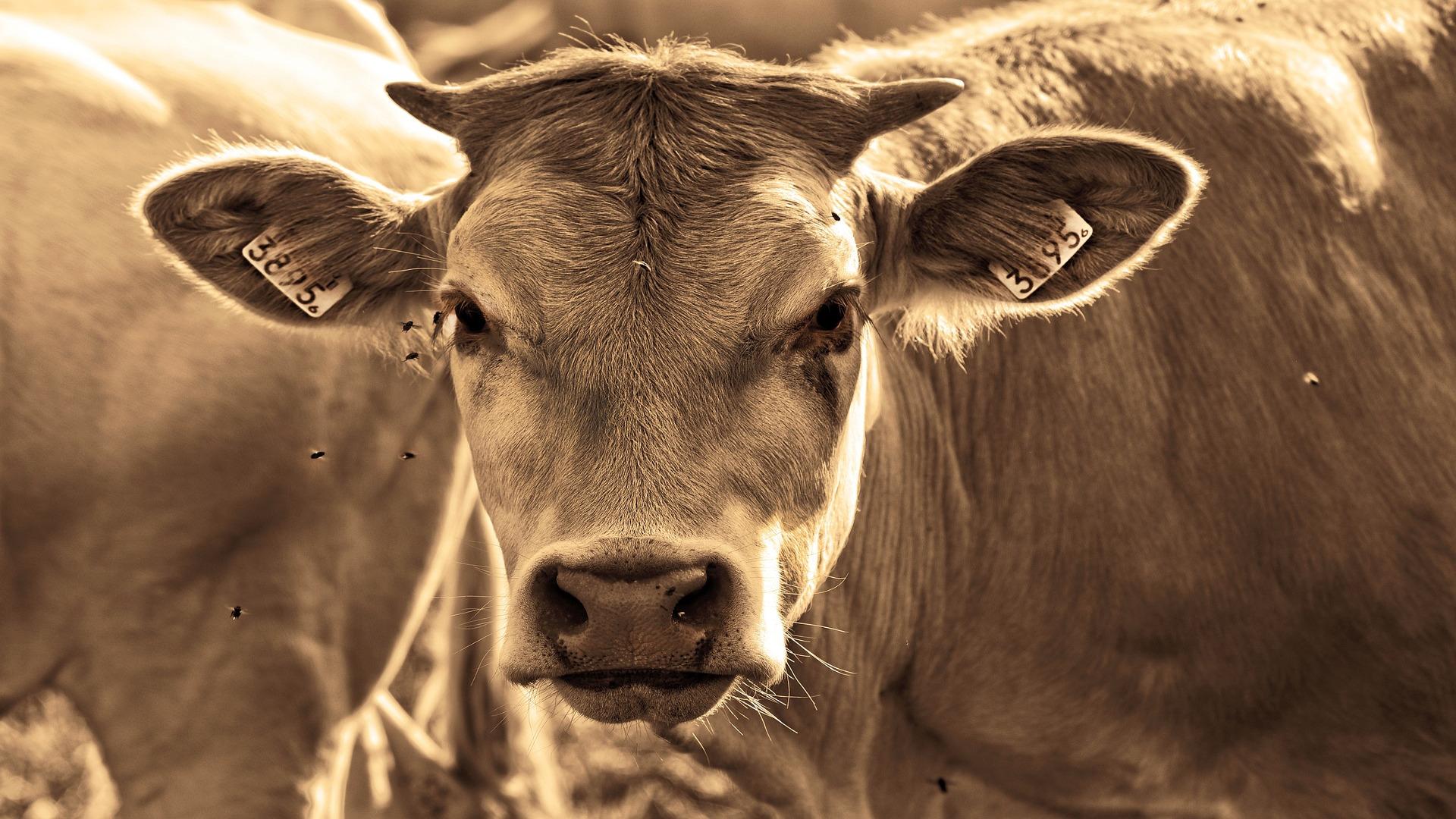 Las moscas provocan un descenso en la produccion de las vacas1920