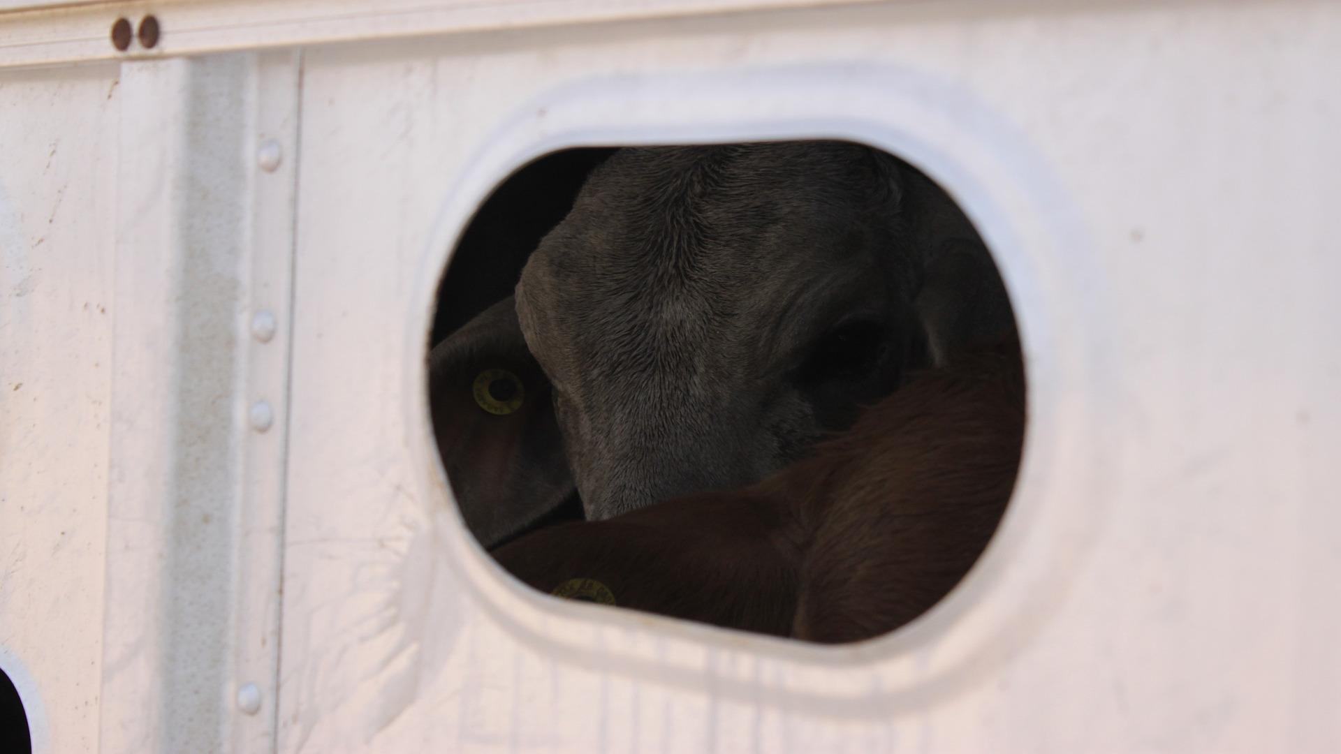 Multa para los que transporten el ganado con mas de 35 grados de temperatura en el interior del vehiculo1920