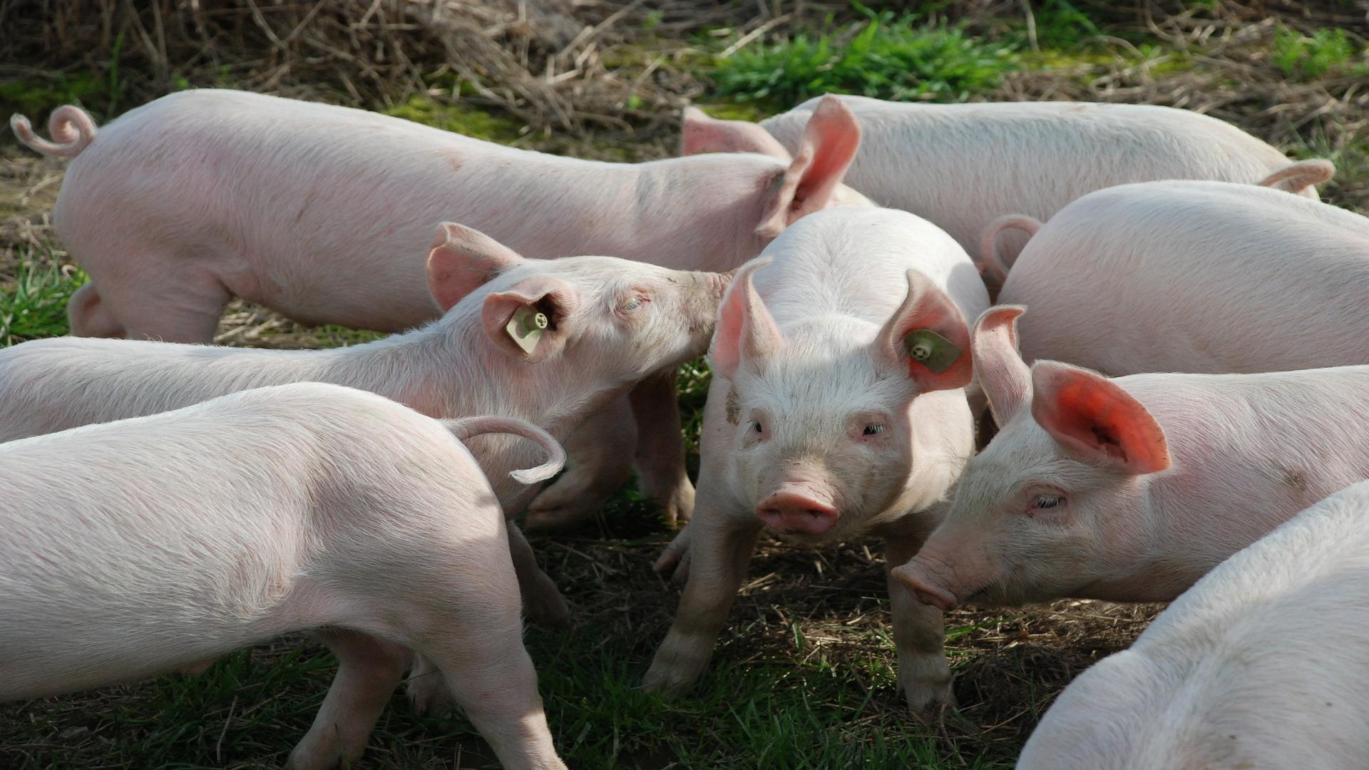 Si que esta permitido realizar la matanza del cerdo en casa1920