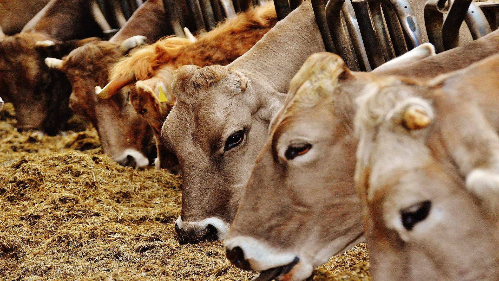 Que hacer si en una ganaderia de leche aparece un positivo en coronavirus1920