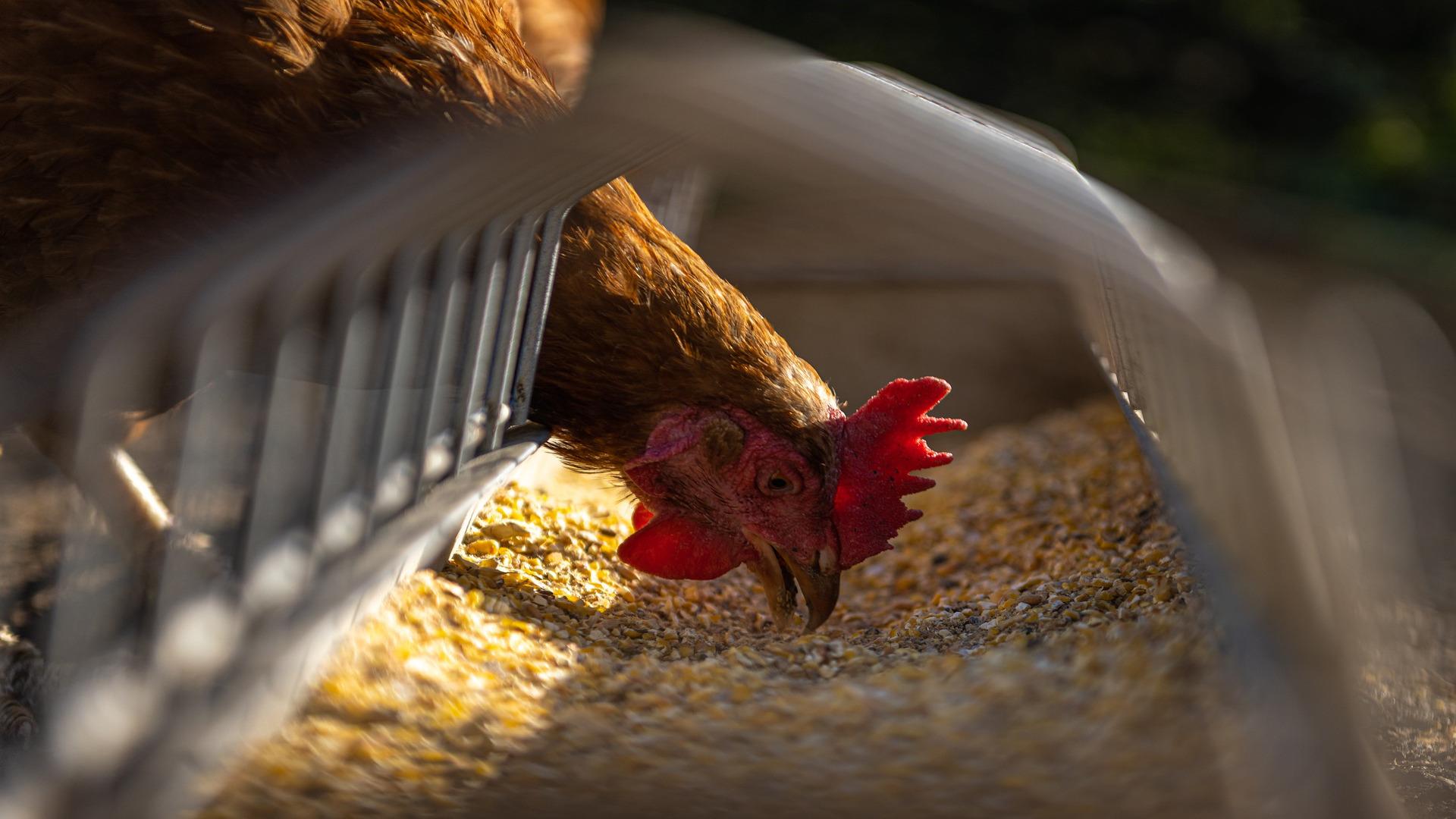 espanha-se-encuentra-en-riesgo-alto-de-contagio-por-gripe-aviar-1920