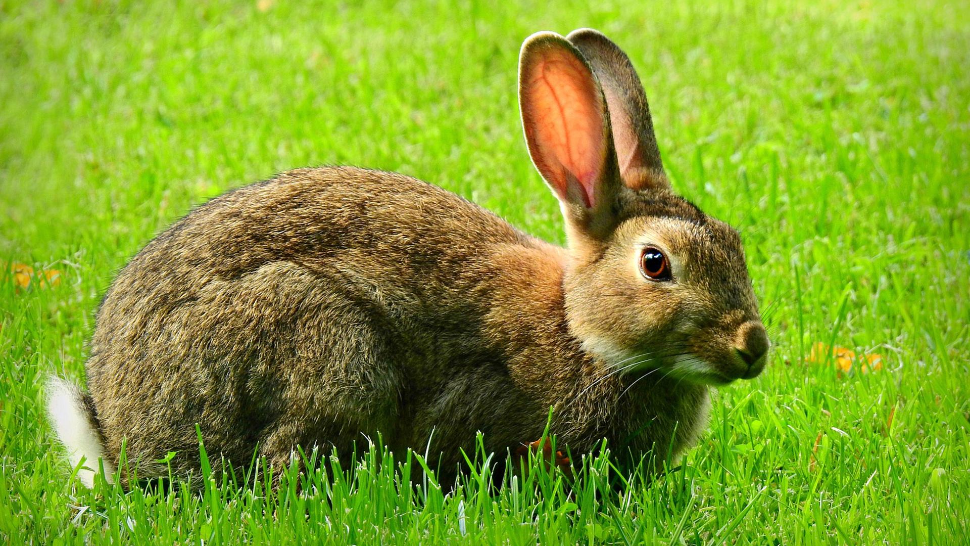 el-conejo-domestico-1920